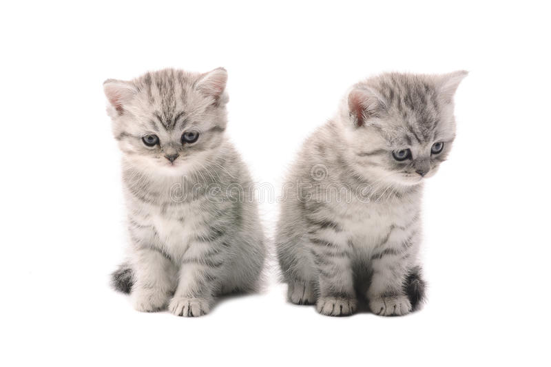 Due simili gattini grigio chiaro immagini stock libere da diritti