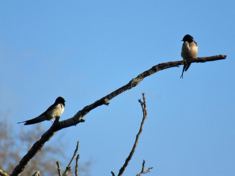 Due sorsi in un ramo di albero fotografia stock