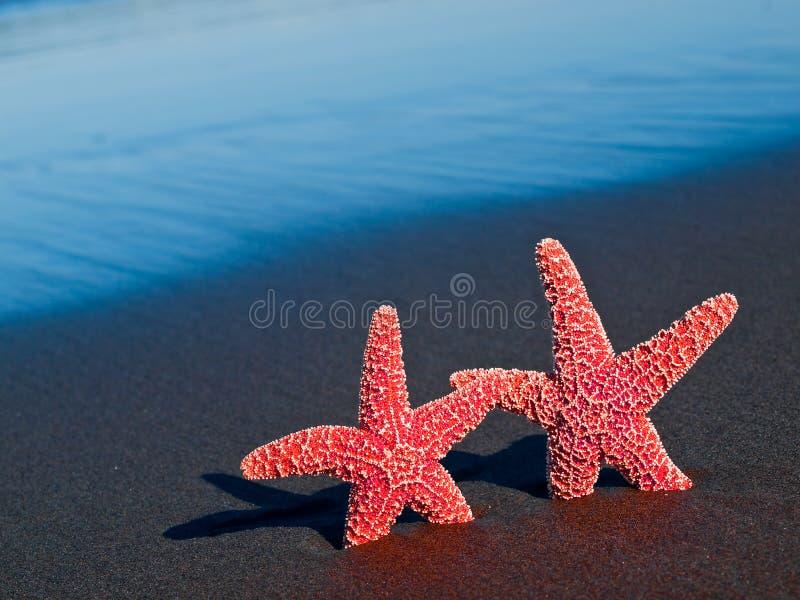 Due stelle marine rosse sulla spiaggia fotografia stock libera da diritti