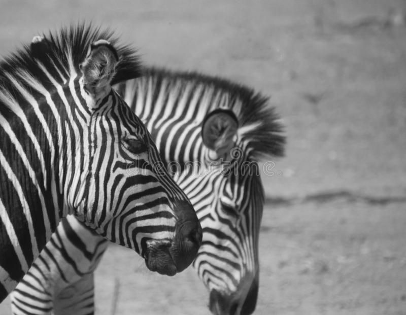 Due of stripes in black and white stock photos