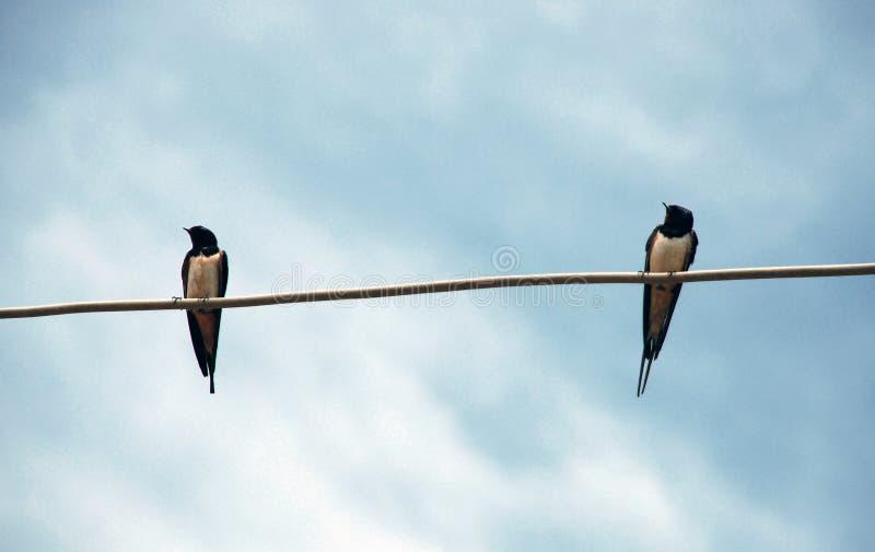 Due swallows immagine stock libera da diritti