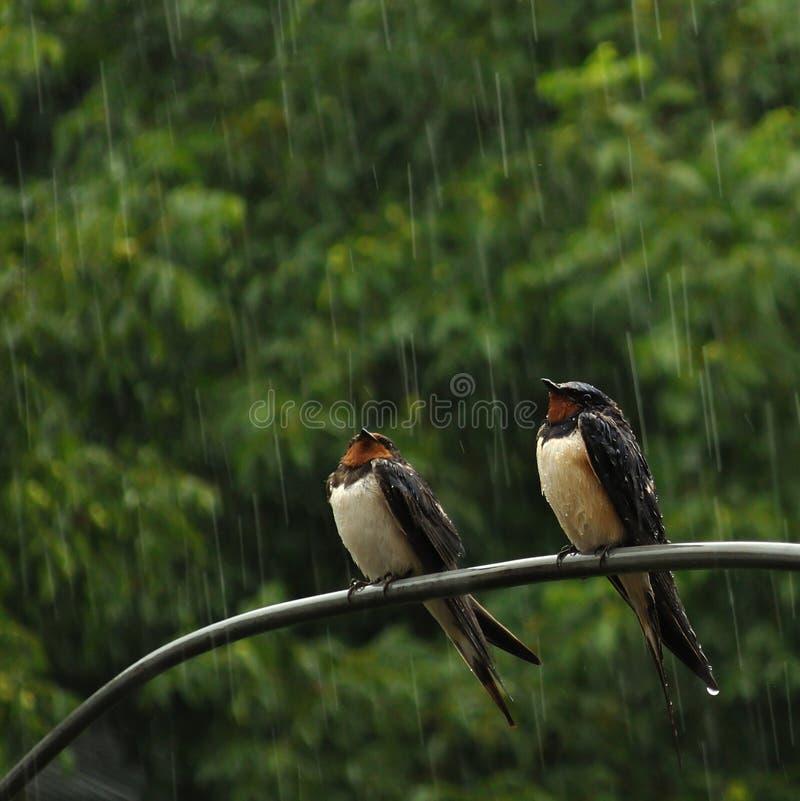 Due swallows in pioggia fotografia stock
