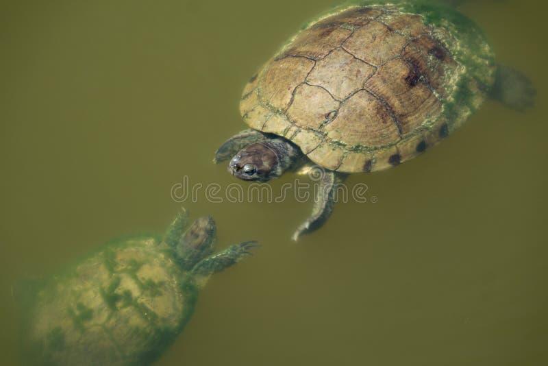 Due tartarughe che si affrontano nell'acqua fotografie stock
