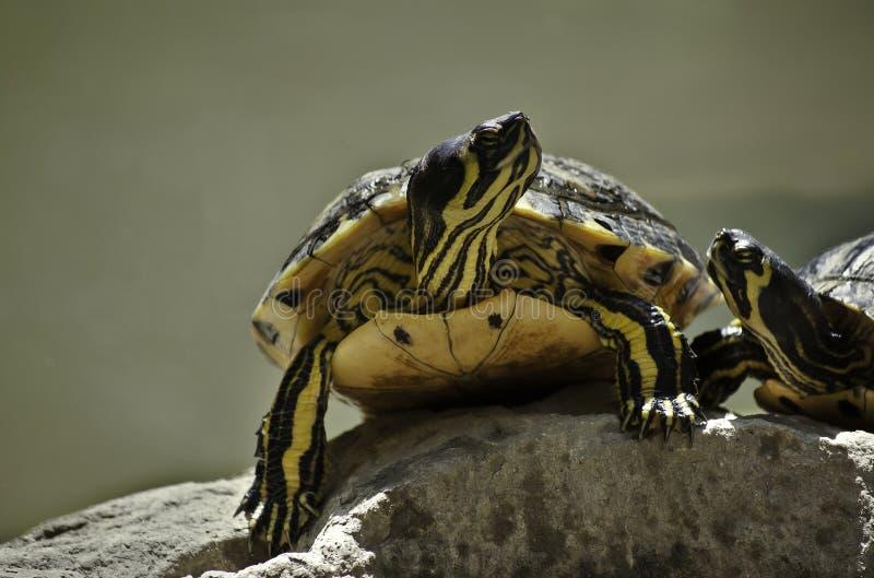 Due tartarughe nell'amore fotografie stock