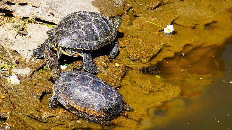 Due tartarughe nello stagno della città immagine stock