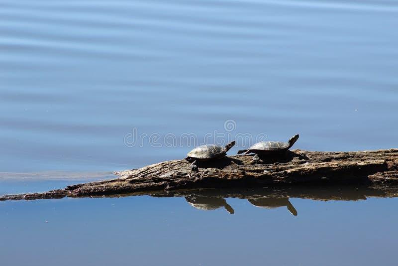 Due tartarughe su un libro macchina fotografie stock libere da diritti
