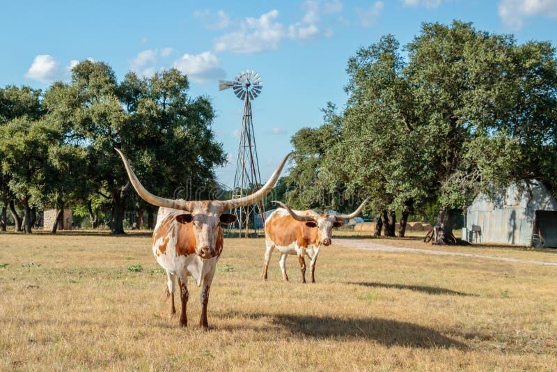 Due Texas Longhorns ed il mulino a vento fotografia stock libera da diritti