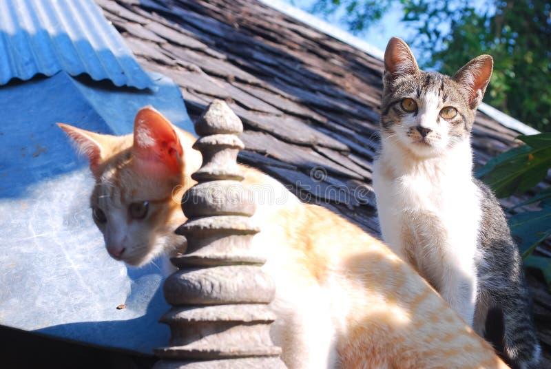 Due thaicats sul tetto fotografie stock