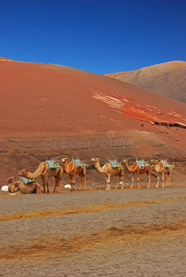 Free Due To Covid19 Pandemic, Dromedary Camels Waiting For Customers At Timanfaya National Park, Lanzarote Island, Canary Islands Royalty Free Stock Images - 193703939