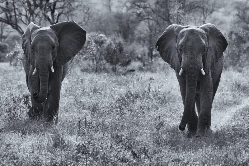 Due tori dell'elefante che camminano con la conversione artistica del cespuglio immagini stock libere da diritti