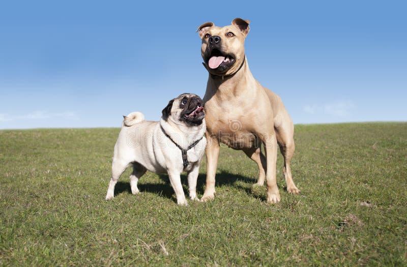 Due tori sani felici svegli dei cani, del carlino e del pitt, giocanti e divertentesi fuori nel parco il giorno soleggiato in pri immagini stock libere da diritti