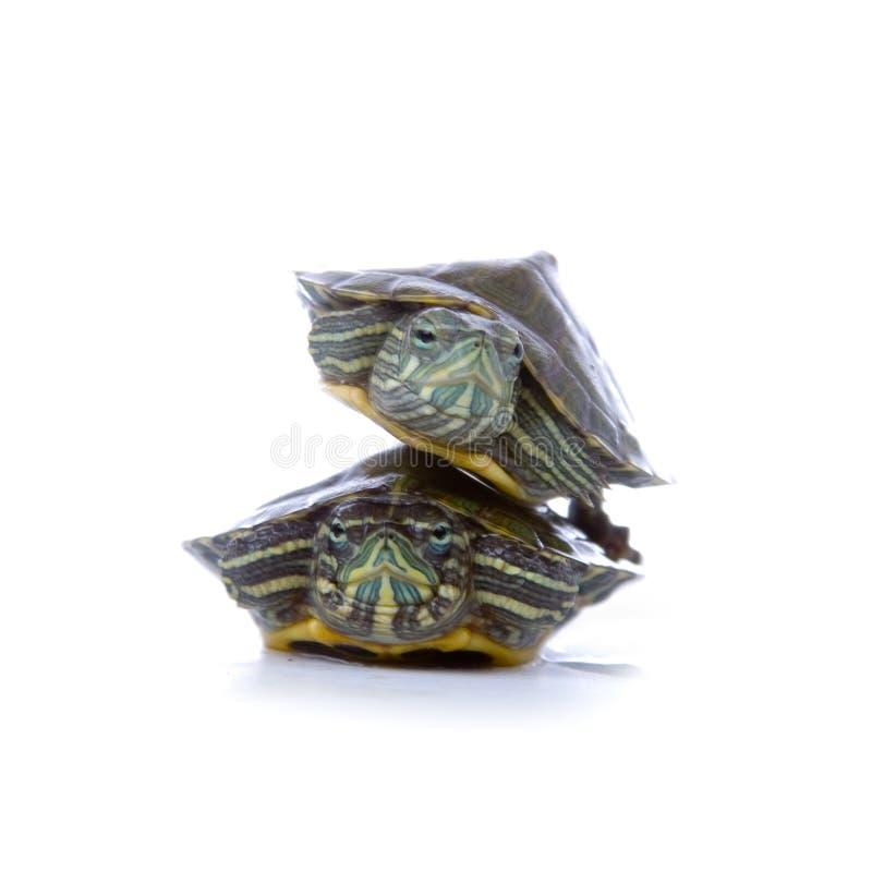 Due tortoises rossi dell'orecchio fotografia stock