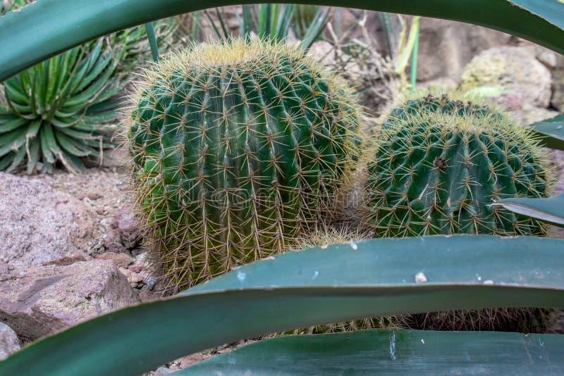 Due tozzi, cactus grassottelli si siedono fra alcune rocce con le foglie lunghe a fotografia stock libera da diritti