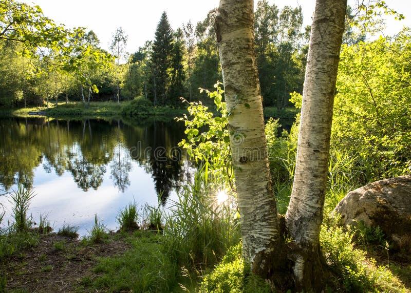 Due tronchi di albero della betulla davanti ad un bello stagno con le riflessioni nell'acqua e gli alberi ed i cespugli verdi Sun immagini stock libere da diritti
