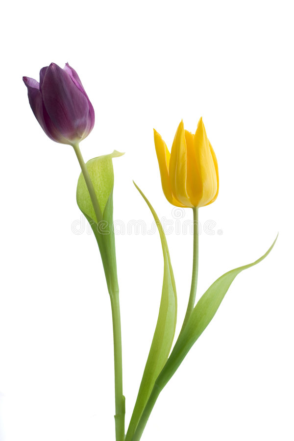 Due tulipani fotografia stock libera da diritti