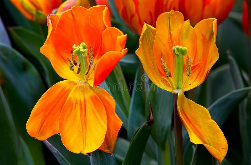 Due tulipani appassiti in un campo immagini stock