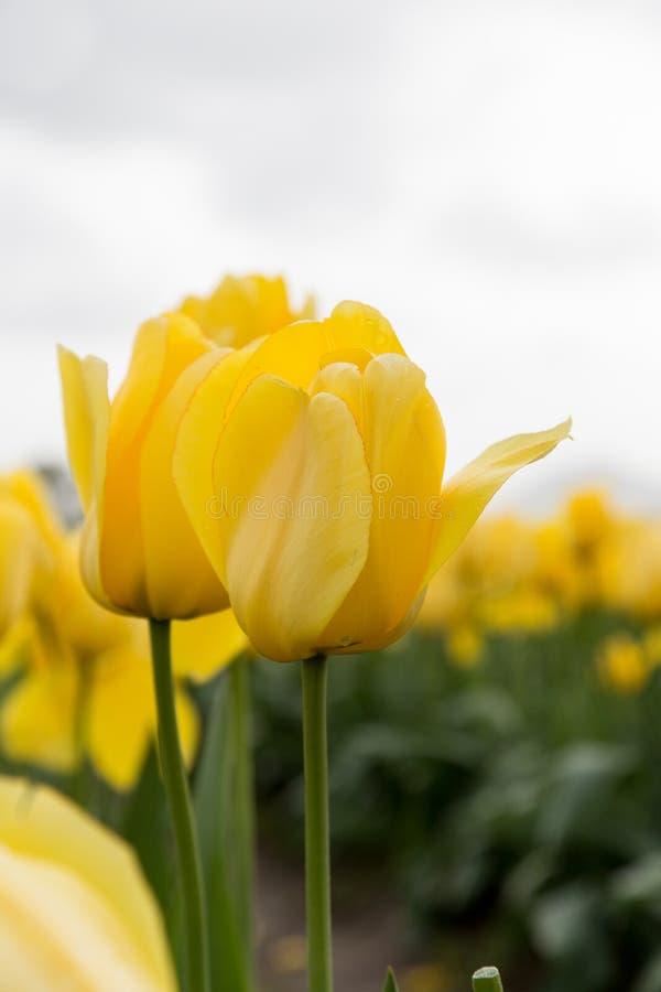Due tulipani gialli luminosi in un campo vago dei tulipani della molla fotografie stock