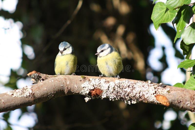 Due uccelli appollaiati su un ramo immagini stock