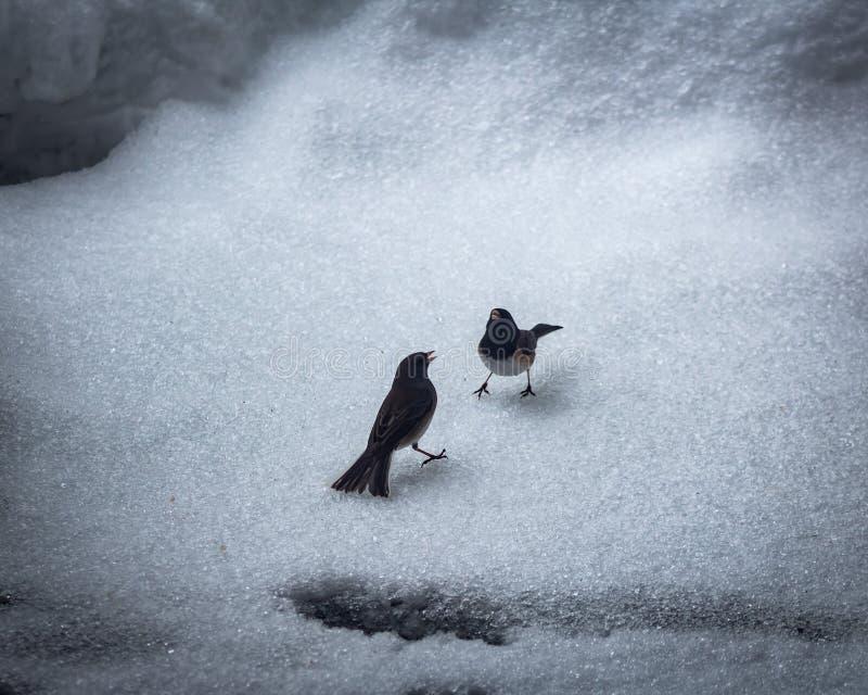 Due uccelli che combattono nella neve fotografie stock libere da diritti