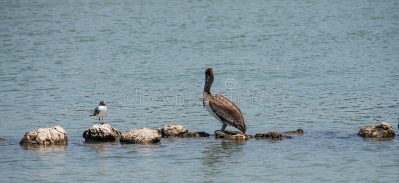 Due uccelli costieri differenti che stanno sulle rocce immagini stock