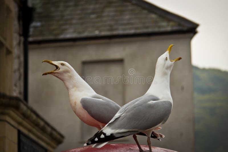 Due uccelli del gabbiano che cinguettano di fronte ad a vicenda fotografia stock libera da diritti