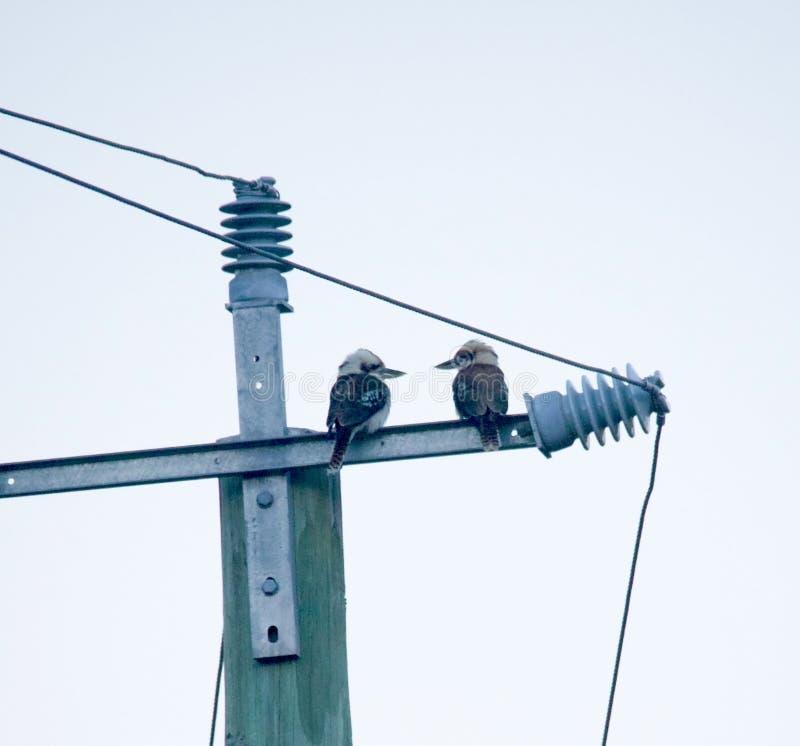 Due uccelli di kookaburra che si affrontano su potere palo fotografie stock