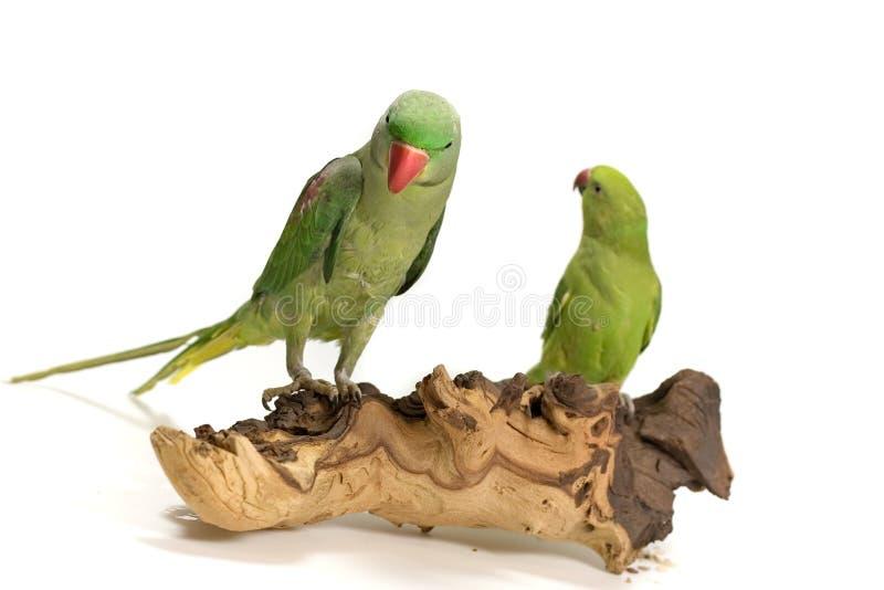 Due uccelli timidi fotografia stock