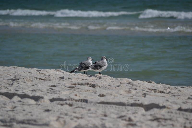 Due uccelli vicino a litorale sulla spiaggia fotografia stock libera da diritti