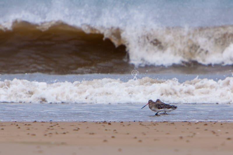 Due uccelli vulnerabili dalla riva fotografia stock