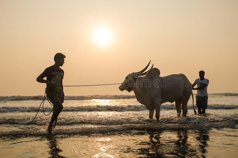 Due uomini che tengono e che spruzzano mucca nel mare al tramonto fotografie stock libere da diritti