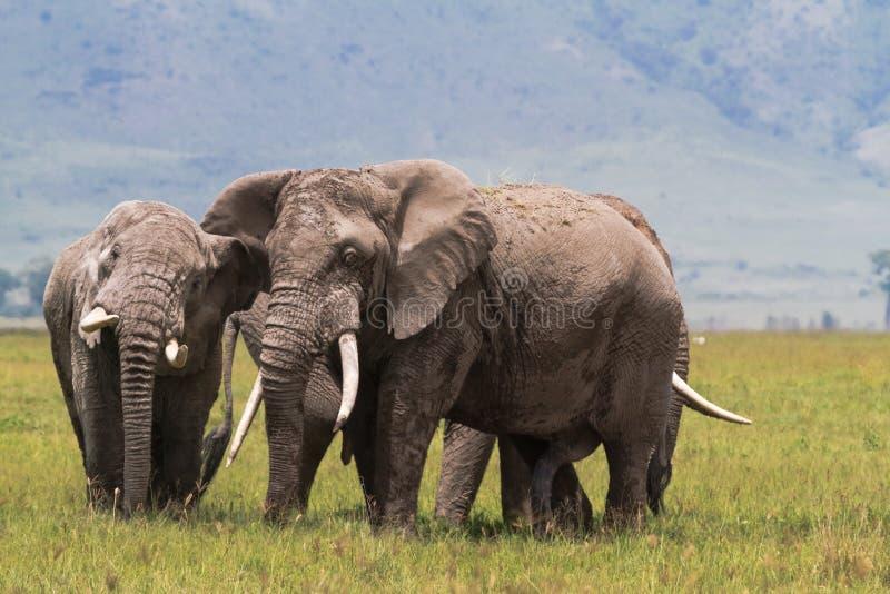 Due vecchi elefanti dentro il cratere di Ngorongoro La Tanzania, Africa immagine stock libera da diritti