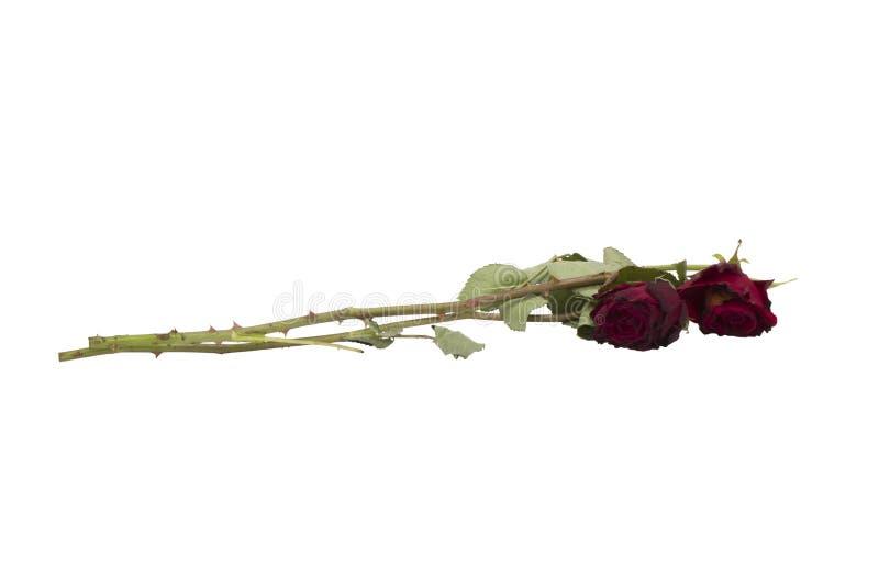 Due vecchie rose rosse isolate su bianco fotografia stock