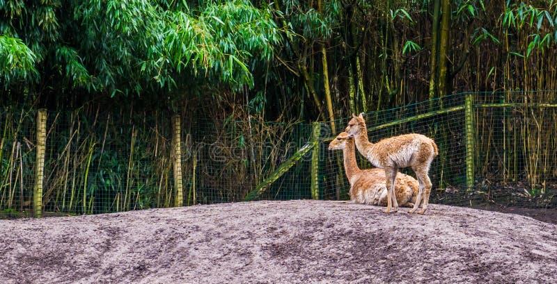 Due vigogna insieme, vigogna una specie relativa all'alpaga e famiglia del cammello, animali dalle Ande del Perù immagini stock libere da diritti