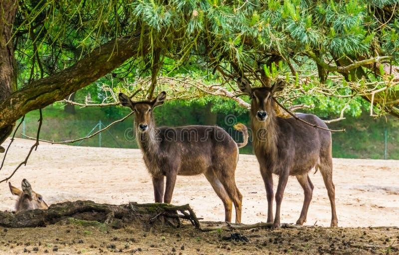 Due waterbucks femminili che stanno insieme sotto un albero, specie dell'antilope della palude dall'Africa fotografie stock