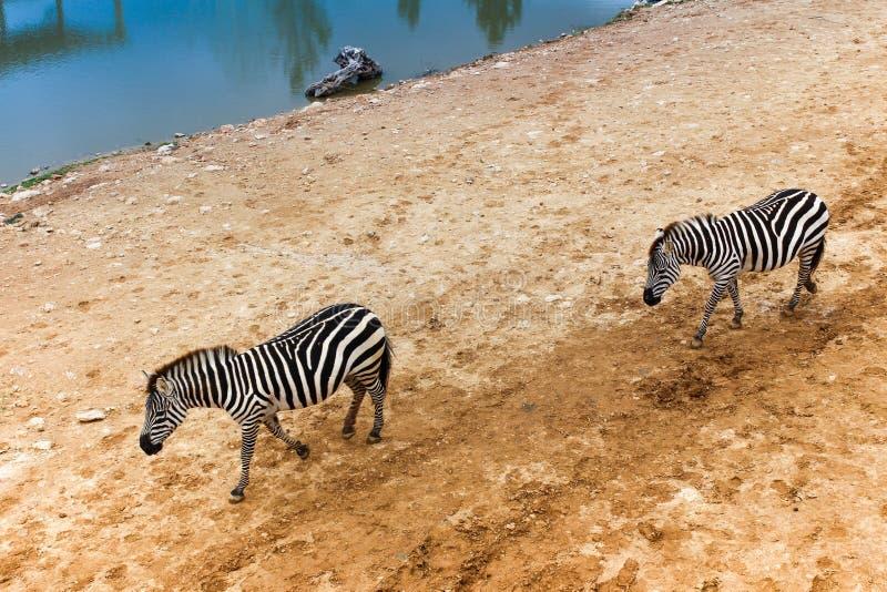 Due zebre camminano dopo un lago fotografia stock