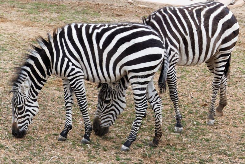 Due zebre che pascono allo zoo fotografia stock
