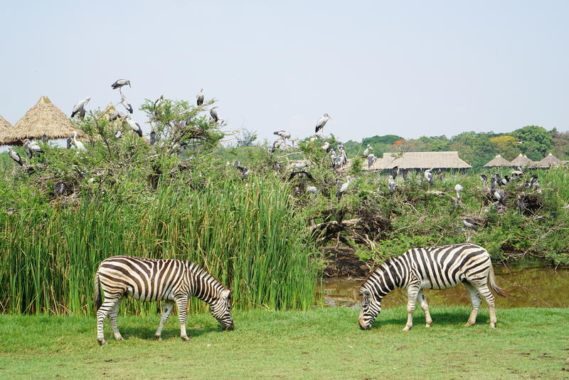 Due zebre a Safari World fotografia stock