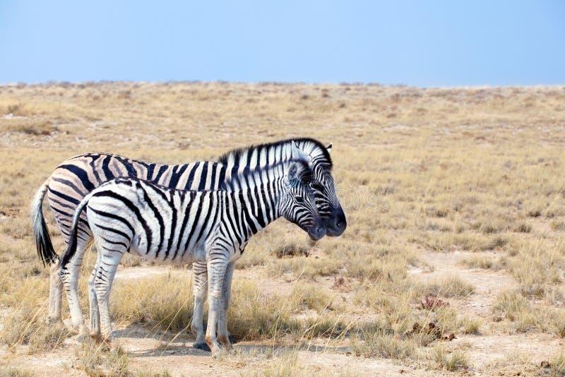Due zebre stanno accanto a ogni altro il primo piano in savanna, safari nel parco nazionale di Etosha, Namibia, Africa meridional immagini stock libere da diritti