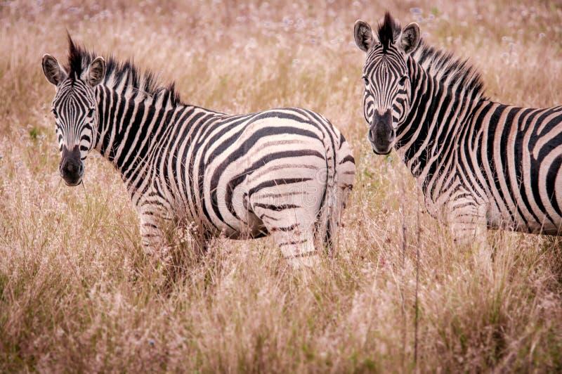 Due zebre, Sudafrica fotografie stock
