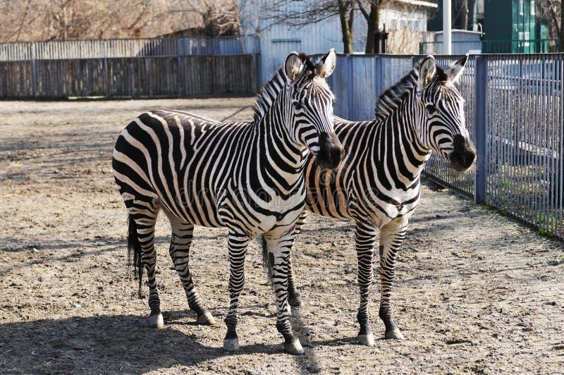 Due zebre in zoo immagine stock libera da diritti