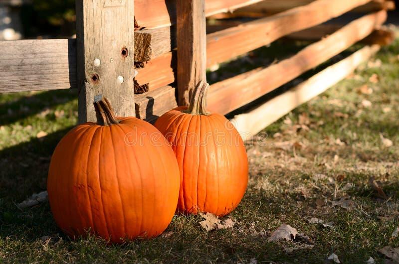 Due zucche mature Zucche di raccolto sulla toppa della zucca Halloween immagine stock libera da diritti