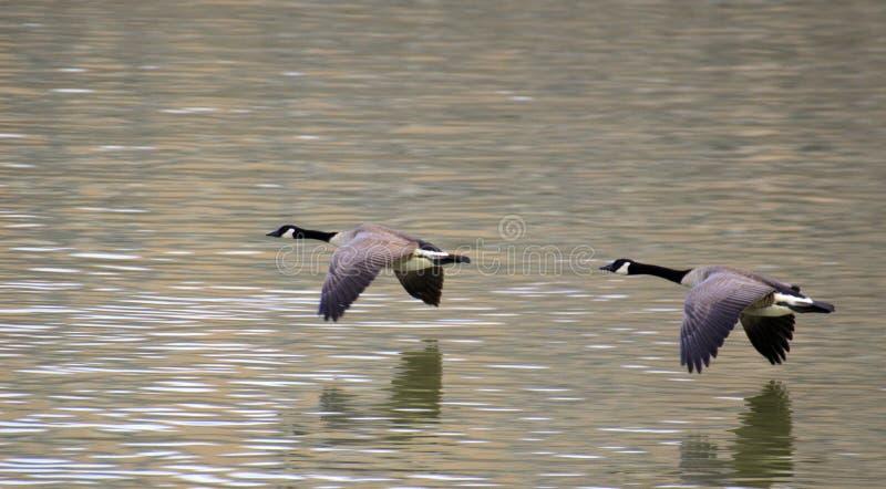 Duece Goose stock photos