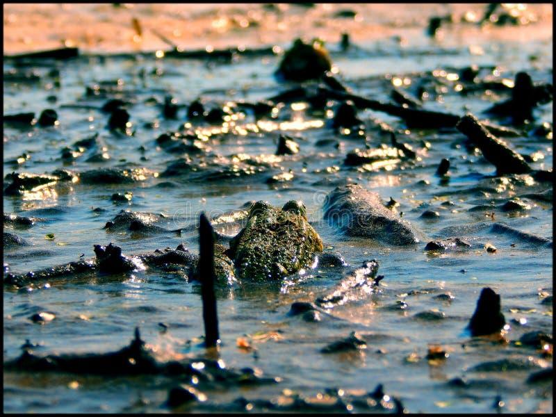 Duel de grenouilles photo libre de droits