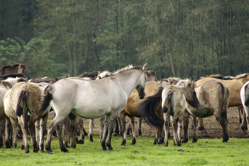 Duelmener horses royalty free stock images