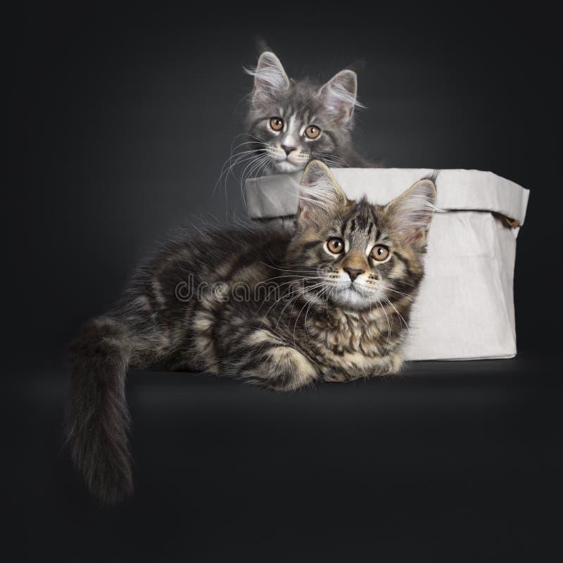 Duett av 2 Maine Coon kattungar p? svart arkivbilder