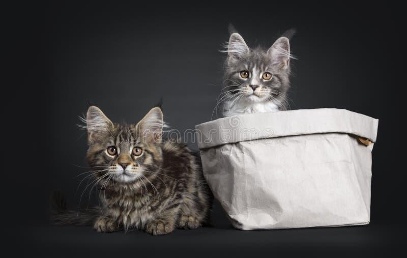 Duett av 2 Maine Coon kattungar p? svart royaltyfri fotografi