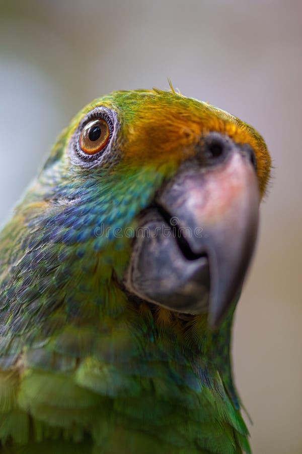 Dufresniana cheeked blu del Amazona del pappagallo di amazon immagine stock