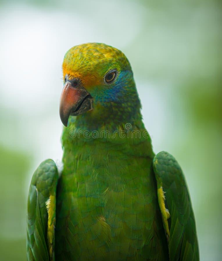Dufresniana cheeked blu del Amazona del pappagallo di amazon immagini stock libere da diritti