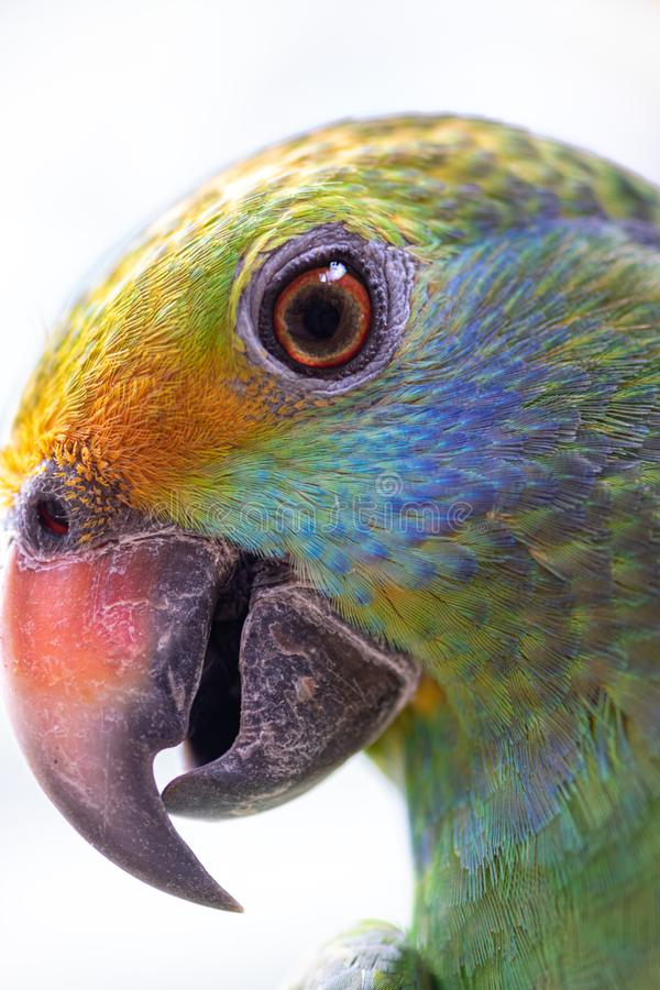 Dufresniana cheeked blu del Amazona del pappagallo di amazon immagine stock libera da diritti