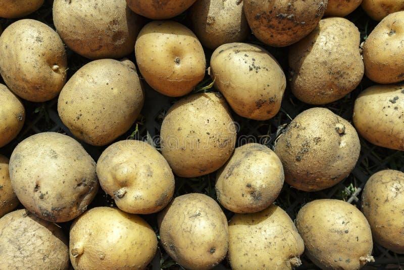 Harvest of yellow potatoes. Dug dirty potatoes strewn on the ground. autumn harvesting stock image